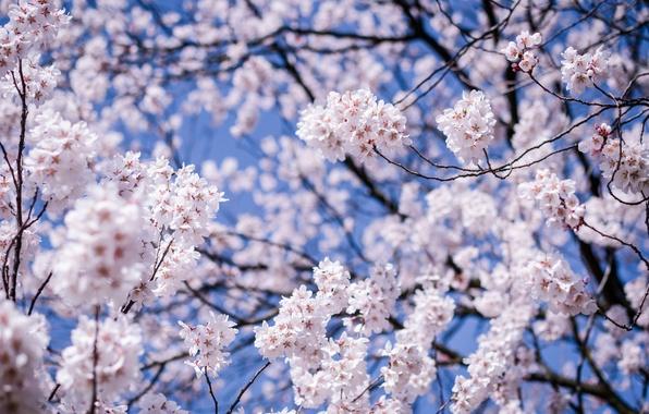 Picture the sky, macro, flowers, branches, cherry, tree, Japan, blur, Sakura, blue, flowering, Matsumoto, Nagano Prefecture