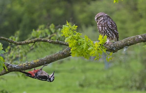 Picture birds, tree, owl, branch, woodpecker, the little owl