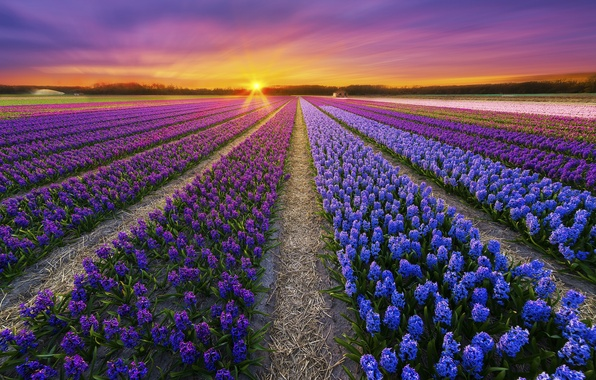 Picture field, sunset, flowers, spring, plantation