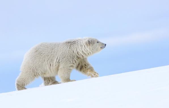 Picture snow, bear, Alaska, polar bear, polar bear