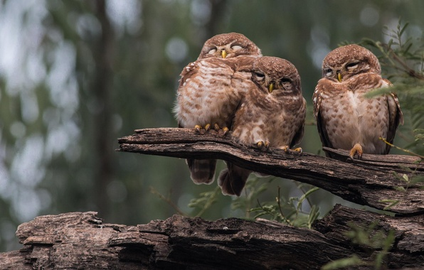 Picture forest, birds, nature, log, owls, three, sleep, owl