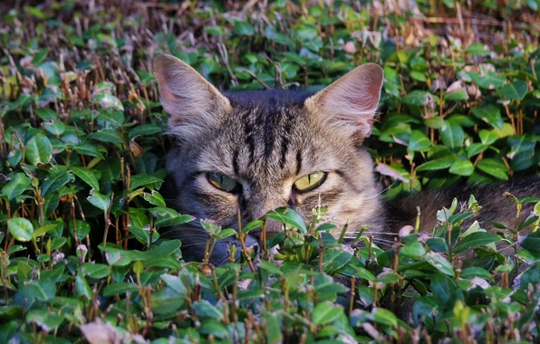Picture grass, cat, face, in ambush