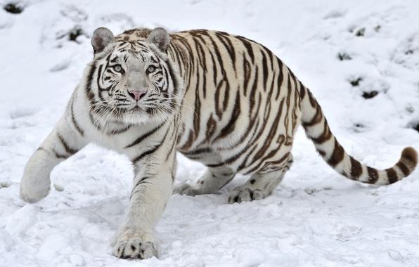 Picture winter, snow, tiger, predator