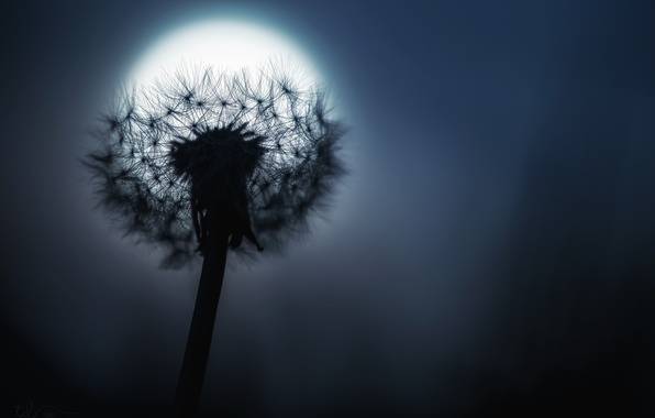 Picture night, dandelion, the moon