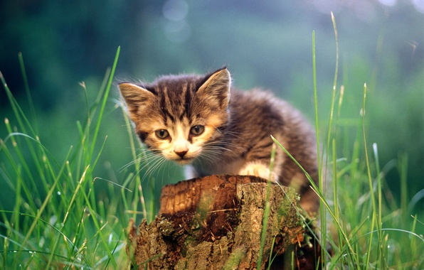 Picture cat, grass, cat, kitty, stump, cat