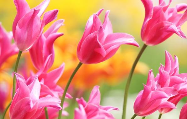 Photo wallpaper pink, petals, tulips, buds
