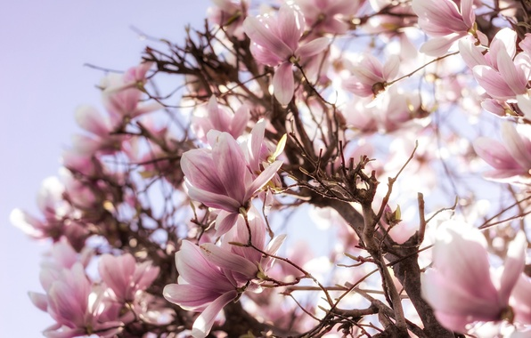 Picture tree, pink, spring, flowering, Magnolia