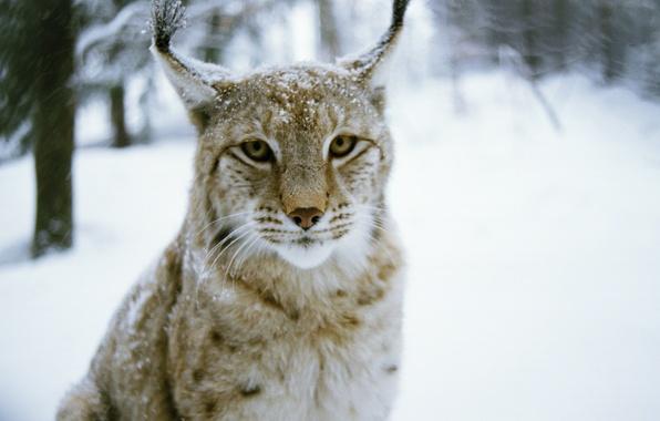 Picture winter, forest, cat, predator, wood, cat, winter, predator, Lynx, lynx