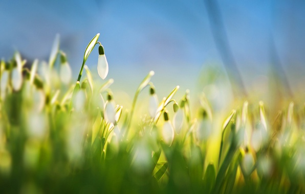 Picture flowers, snowdrops, white, Flower, White, Snowdrops