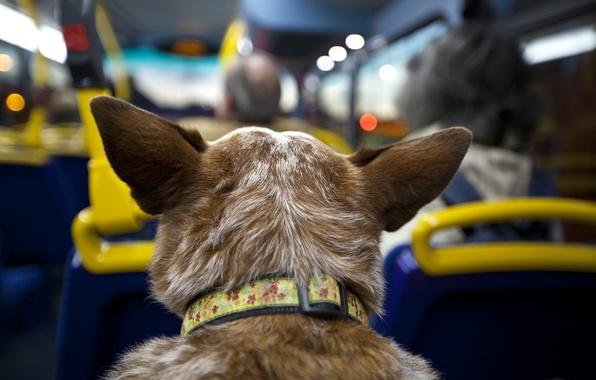 Picture dog, bus, salon, trip, passenger