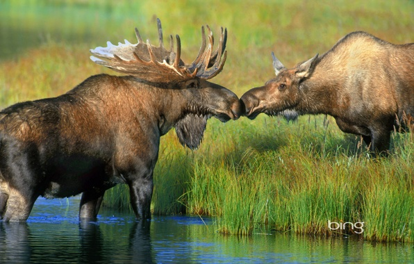 Picture grass, river, Alaska, pair, horns, USA, moose, Denali national Park, Wonder Lake