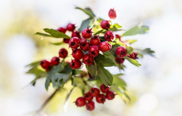 Picture leaves, berries, branch, red, bokeh