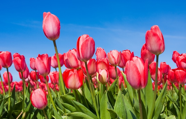 Photo wallpaper the sky, flowers, spring, tulips, buds, tulips