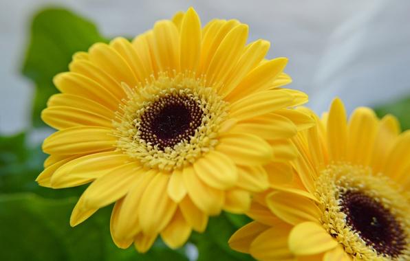 Picture macro, Duo, gerbera, yellow