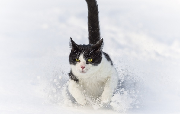 Picture winter, cat, cat, snow, the snow, runs, ©Tambako The Jaguar