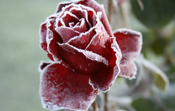 Picture cold, frost, flower, macro, flowers, background, Wallpaper, rose, garden, frost
