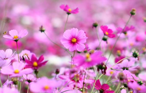 Picture field, grass, flowers, nature, glade, bright, plants, spring, petals, pink, flowering, kosmeya