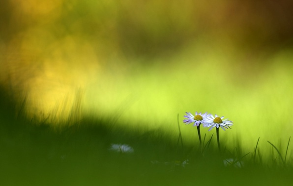 Picture summer, grass, macro, flowers, chamomile