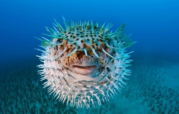 Picture sea, macro, fish-urchin