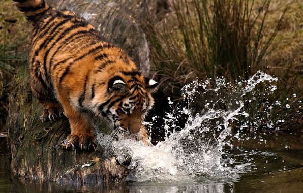 Picture water, drops, squirt, tiger, paw, blow