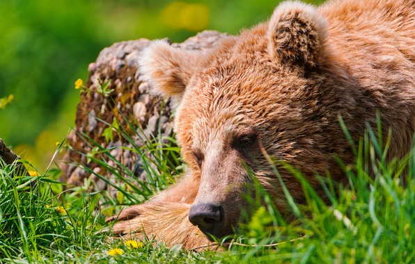 Picture stay, bear, sleeping, weed