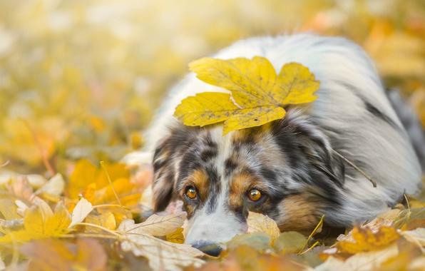 Picture autumn, face, foliage, leaf, dog, lies, look., shepherd, Australian, Aussie