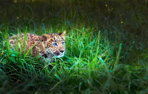 Picture LOOK, GRASS, TIGER, HUNTING, GREEN, LEOPARD, BABY, DISGUISE, ATTENTION