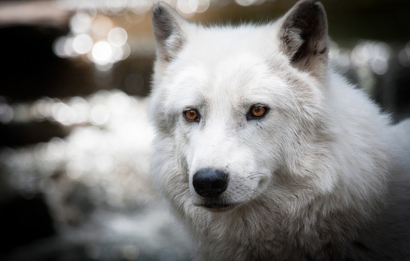Picture white, glare, wolf, polar