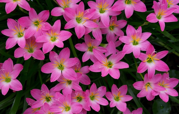 Picture a lot, Zephyranthes, upstart