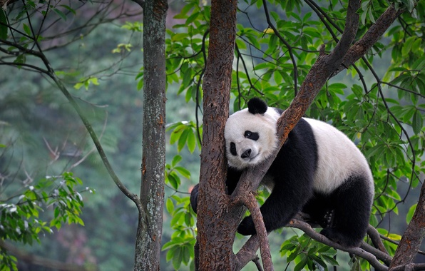 Picture leaves, nature, tree, bear, Panda, China, Sichuan, Yaan