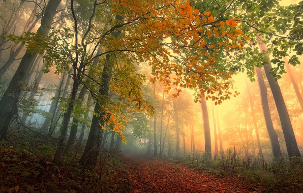 Picture autumn, forest, leaves, trees, fog, forest, path, trees, Autumn, leaves