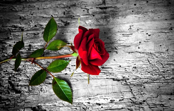 Picture flower, rose, red, rose, wood