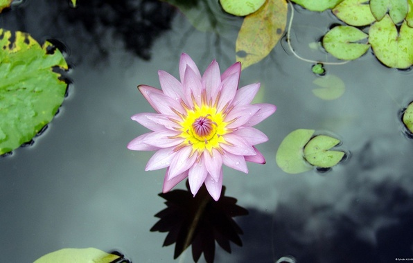 Photo wallpaper lake, water, flower, Lily