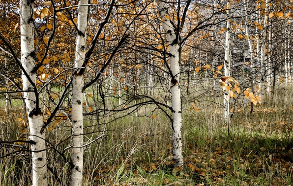 Picture forest, nature, birch