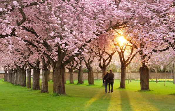 Picture mood, spring, petals, Sakura, pair, love, pink, alley, Sakura, flowering, spring, Prunus serrulata