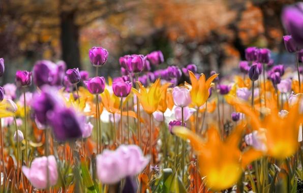 Photo wallpaper flowers, Park, meadow, tulips