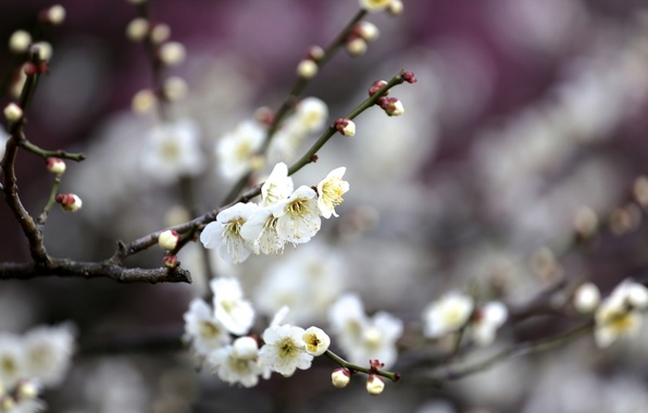 Picture flowers, branches, tree, spring, flowering, fruit