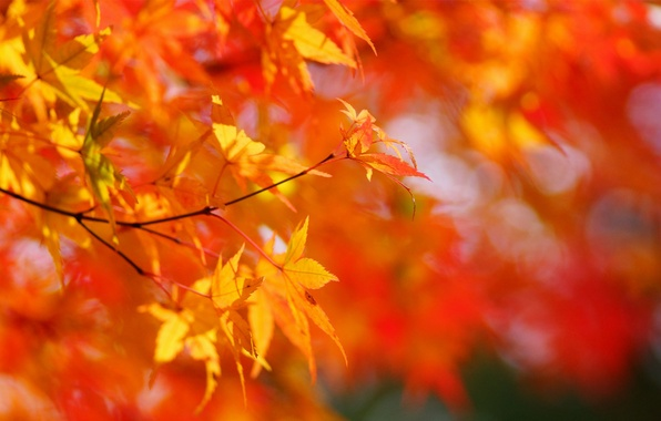 Picture autumn, leaves, the sun, tree, yellow, maple, Sunny, crown