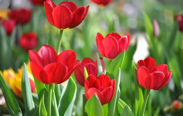 Picture leaves, petals, garden, stem, meadow, tulips