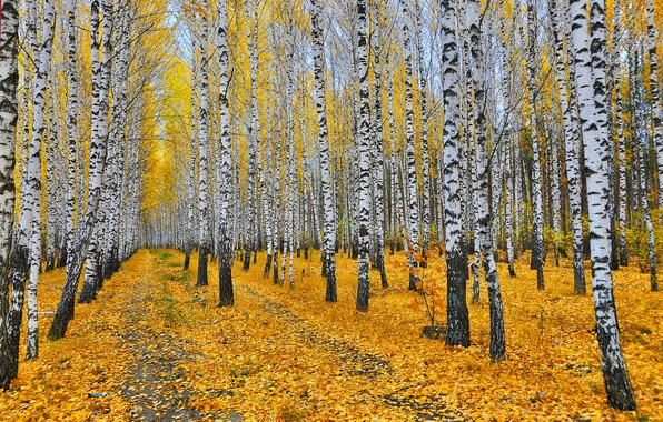 Picture autumn, forest, leaves, trees, yellow, birch, grove, paths