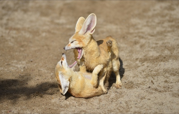 Picture animals, the game, pair, Fox, games, animal, fennec