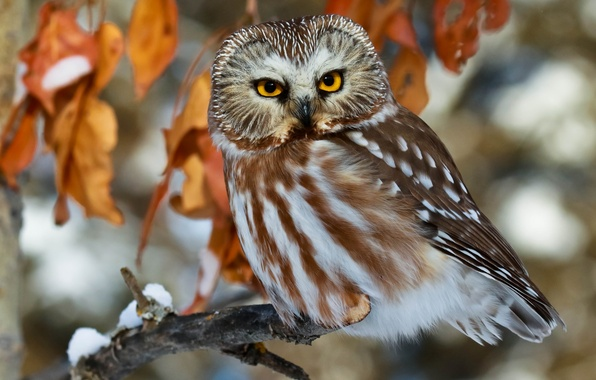 Picture look, leaves, owl, bird, branch, North American boreal owl, Tengmalm's owl