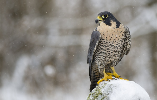 Picture winter, look, snow, bird, predator, profile, Falcon, Peregrine