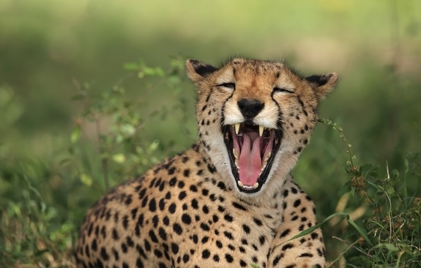 Picture kitty, vegetation, mouth, Cheetah