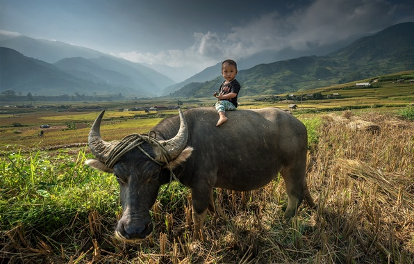 Picture field, child, surprise, Asia, Bull, field, baby, Asia, top, ride, grazing