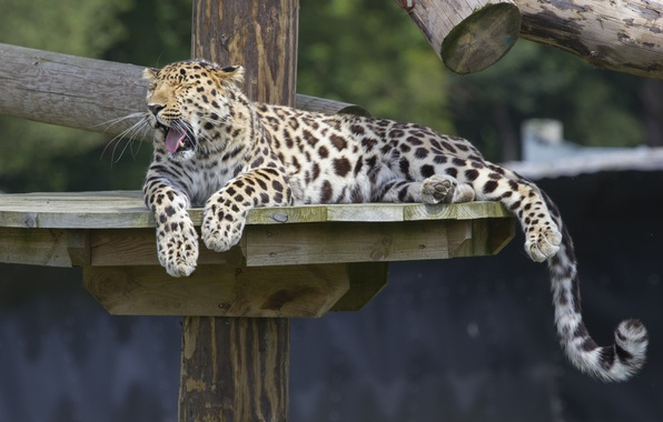 Picture stay, predator, paws, tail, wild cat, yawns, zoo, the Amur leopard