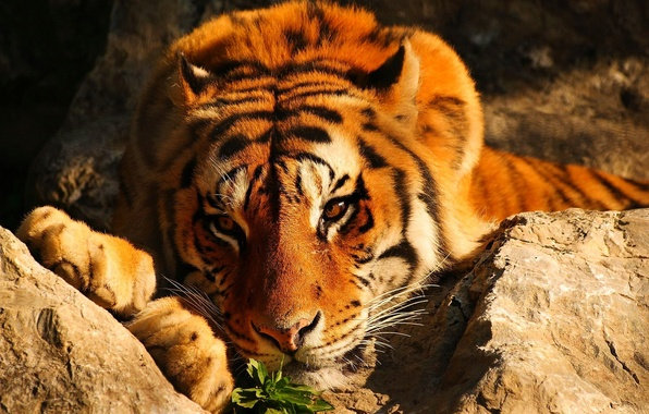 Picture look, tiger, stones, red, lies, brooding