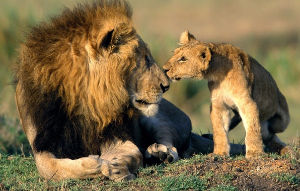 Picture cats, animals, Wallpaper, Leo, nose, father, wallpaper, lion, son, dad