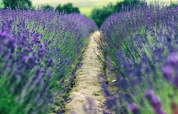 Picture field, trees, the way, the countryside, farm, lavender, bokeh, lavender field