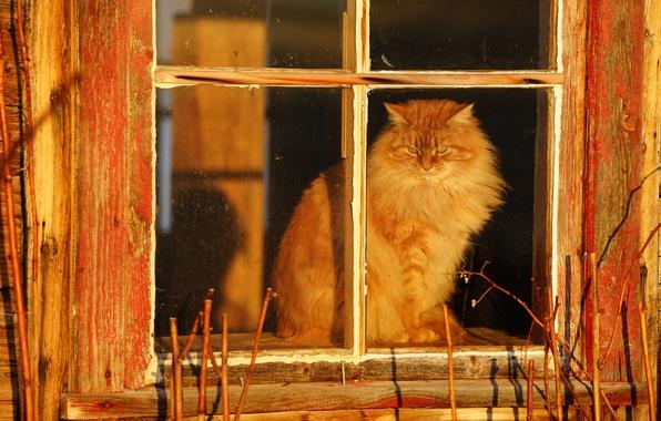 Picture cat, village, window, fluffy